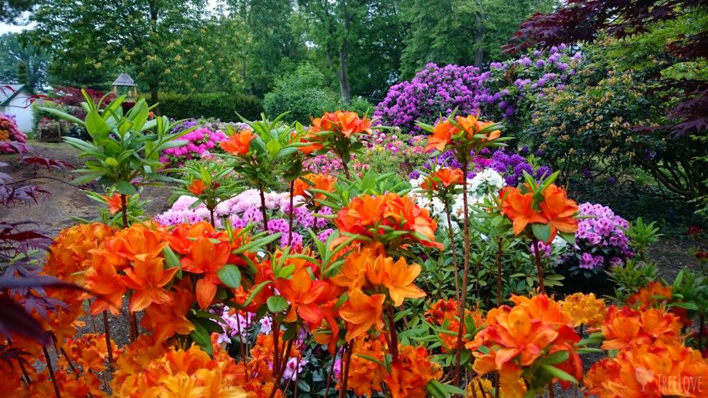 Rhododendron und Azaleen - Moorbeetpflanzen haben spezielle Ansprüche