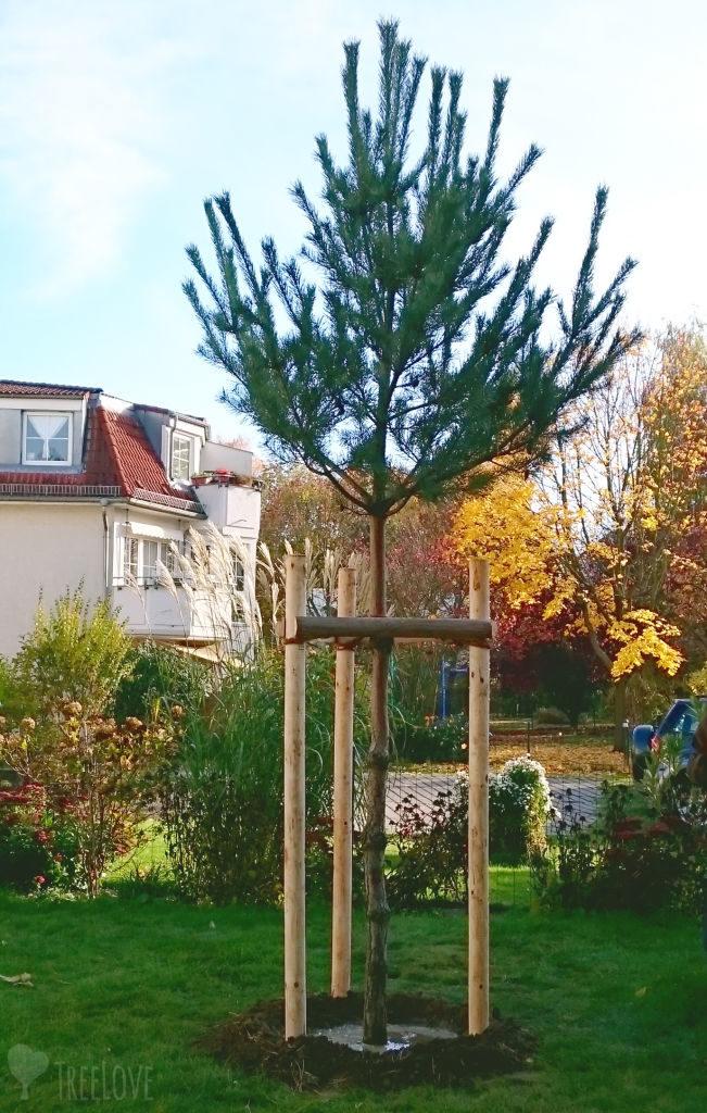 frisch gepflanzter Kiefern-Hochstamm mit Dreibock